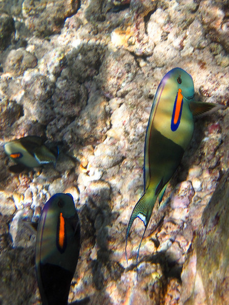 Fish at Poipu Beach