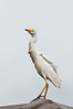 Egret on our roof