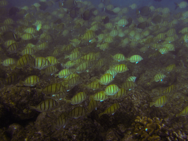 Tangs and Whitebar Surgeonfish
