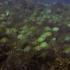 Tangs and Whitebar Surgeonfish