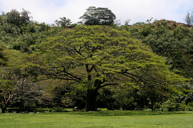 Our favorite tree. Bonzai gigante.