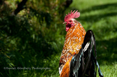 A wild rooster near Waimea Canyon.