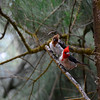 Red Crested Cardinal