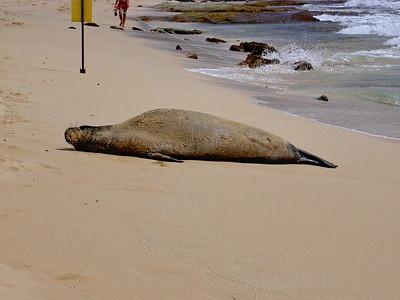 Hawaiian monk seal taking a nap