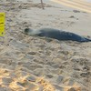 Young male monk seal