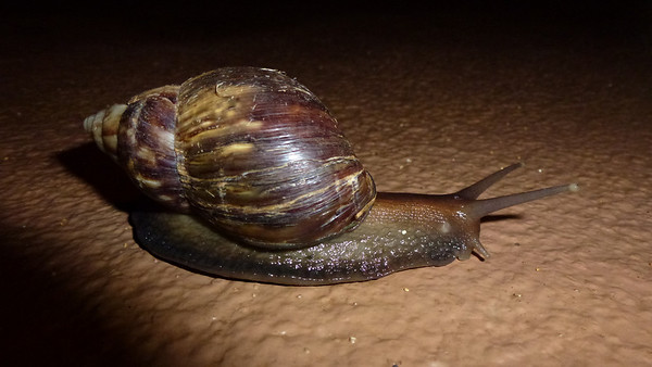 This snail was the size of Diane's hand.