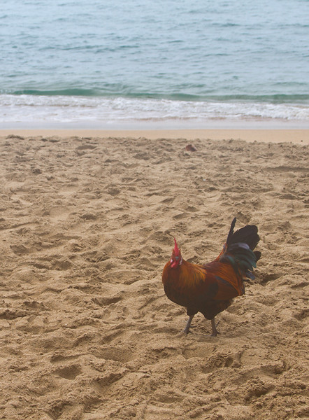 There would seem to be slim pickin's on the beach, but maybe this rooster  knew something I didn't.  The feral chickens were even at the End Of The Road!
