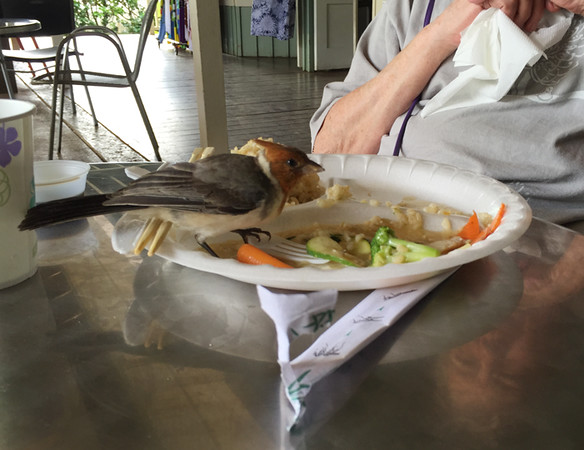 By now it was lunch time at the Princeville Food Court where this Red-crested cardinal wanted to share Barbara's lunch (after she finished, of course).