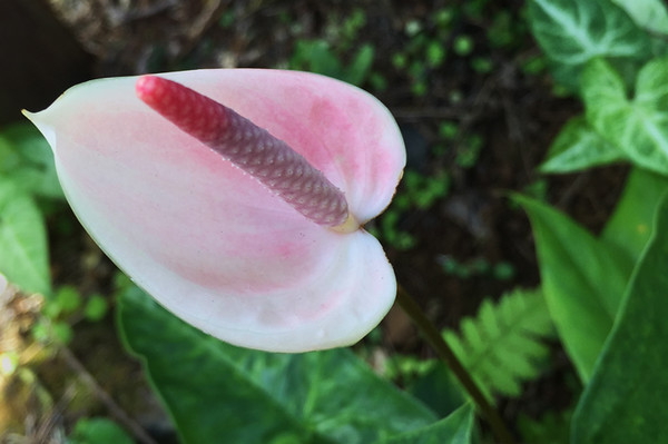 I'd only seen Anthuriums in floral arrangements, so it was fun to see them growing in a garden.