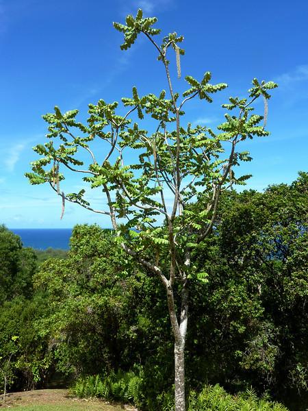 Rare Native Tree, Limahuli Garden