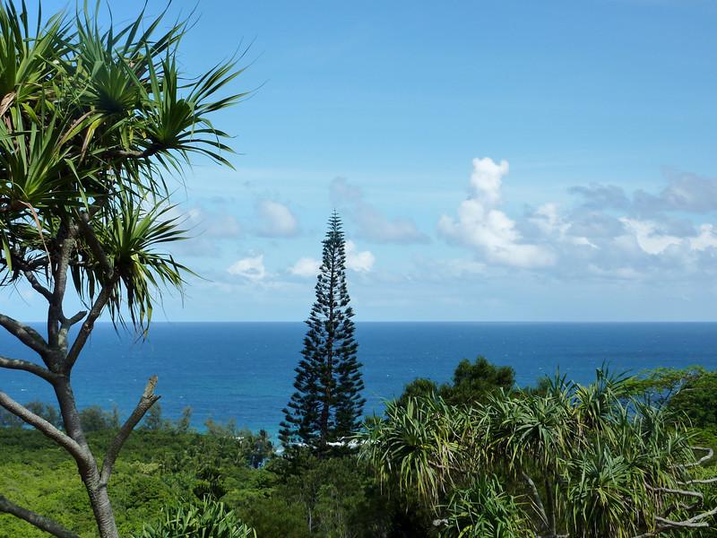 Lone Pine, Limahuli Garden