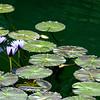 Water Lilies, Na Aina Kai Botanical Gardens