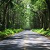 Tree Tunnel on Maluhia Drive goes to Koloa and Poipu.