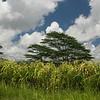 Leftover sugar cane on Kipu Ranch.