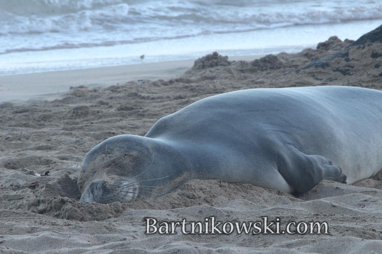 Monk Seal, Kee Beach