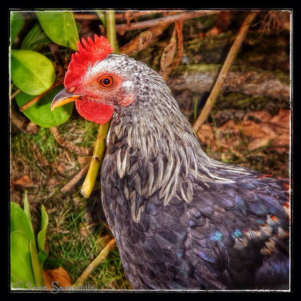 Our friendly jungle-fowl who begs for food whenever we eat on the patio.