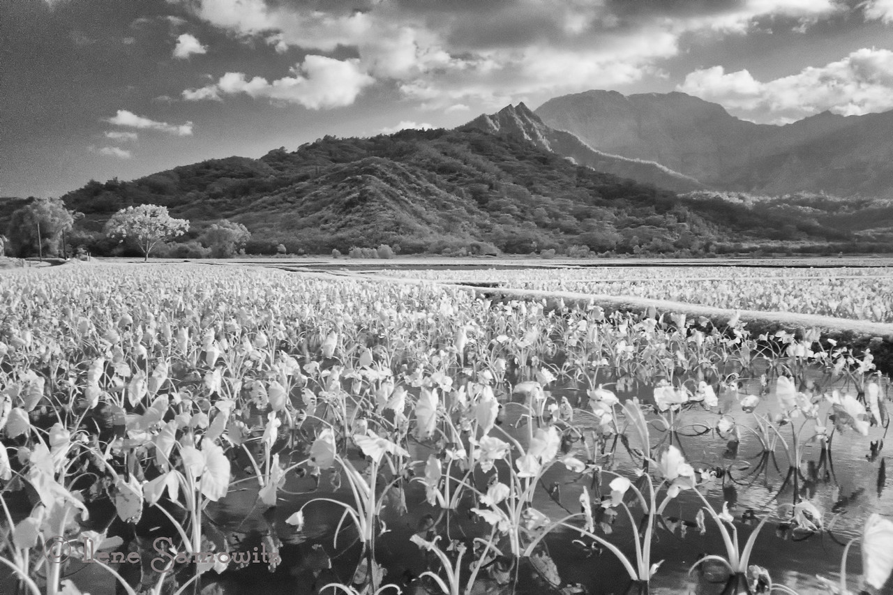 Taro fields in infrared. I used my Fuji X100s with a Hoya R72 infrared filter.  I shot raw plus jpeg using an in-camera b&w conversion jpg as the starting point. The color version was taken with my Nikon D800e and shot at 24 mm. This is at 35mm.