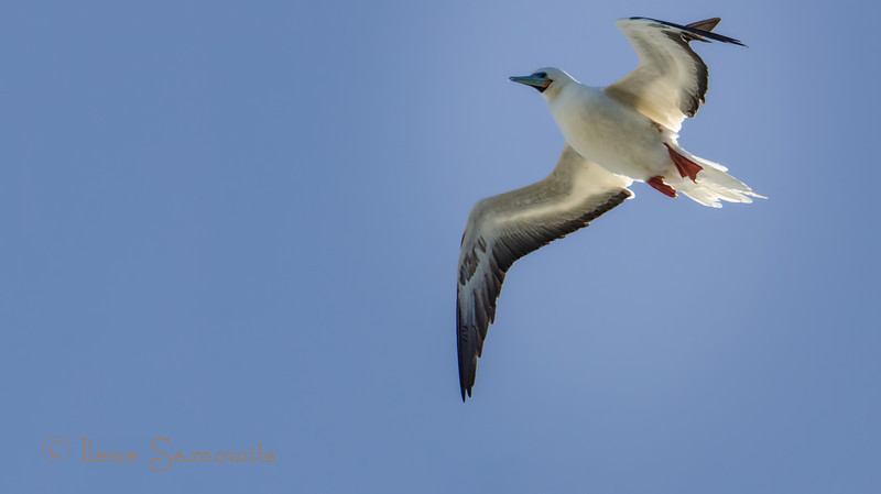 A red-footed booby. One of my favorite all time birds.  Kileaua lighthouse, Kauaii