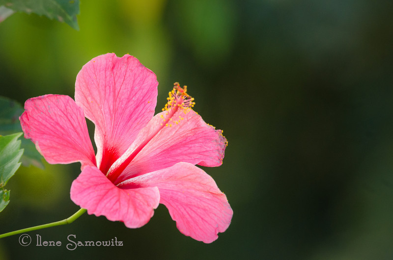 Beautiful hibiscus from the garden of our rental house in Kileaua, Kauai.