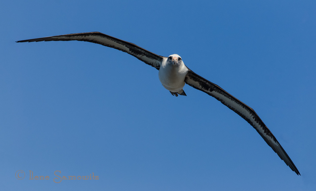 Laysan Albatross at Kileaua Lighthouse, Kauai.