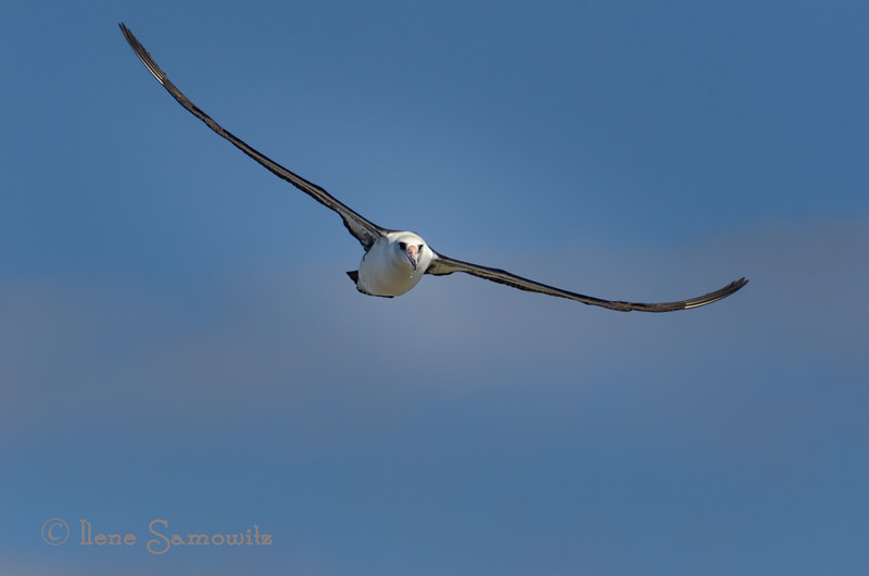 Another Laysan's Albatross soaring at Kilaeau.