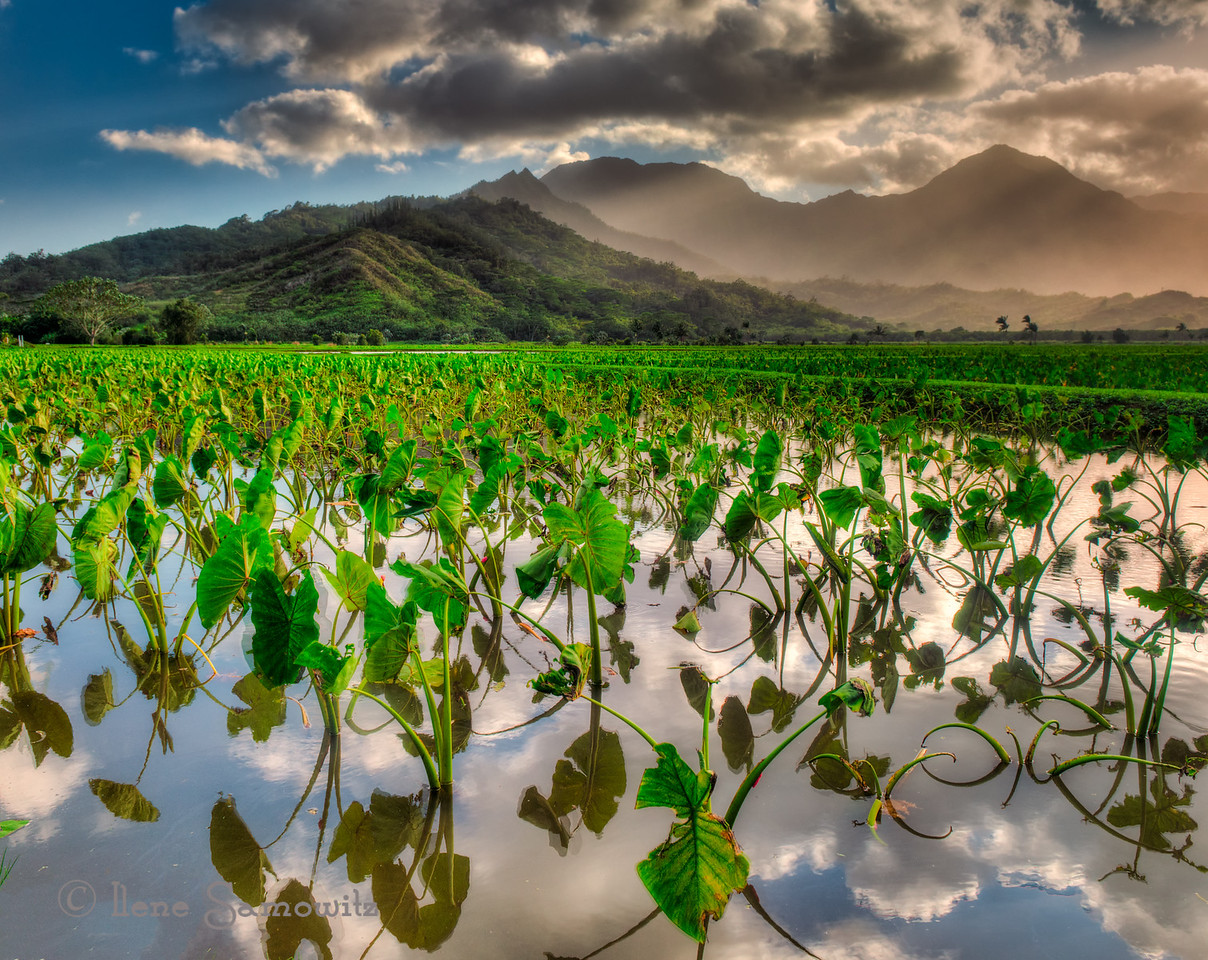 Taro fields at sunset. Taken at the Hanalei National Wildlife Refuge, Kauai.
