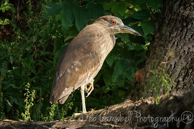 Juvenile Black Crown Night Heron