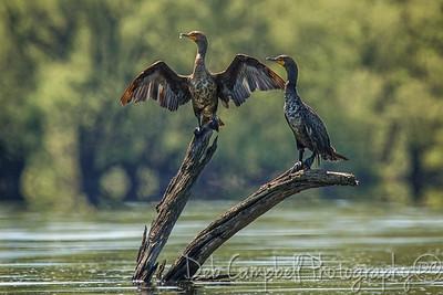 Juvenile Cormorants