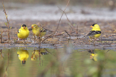 Goldfinch Reflections