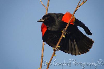 Red Wing Blackbird (Male)