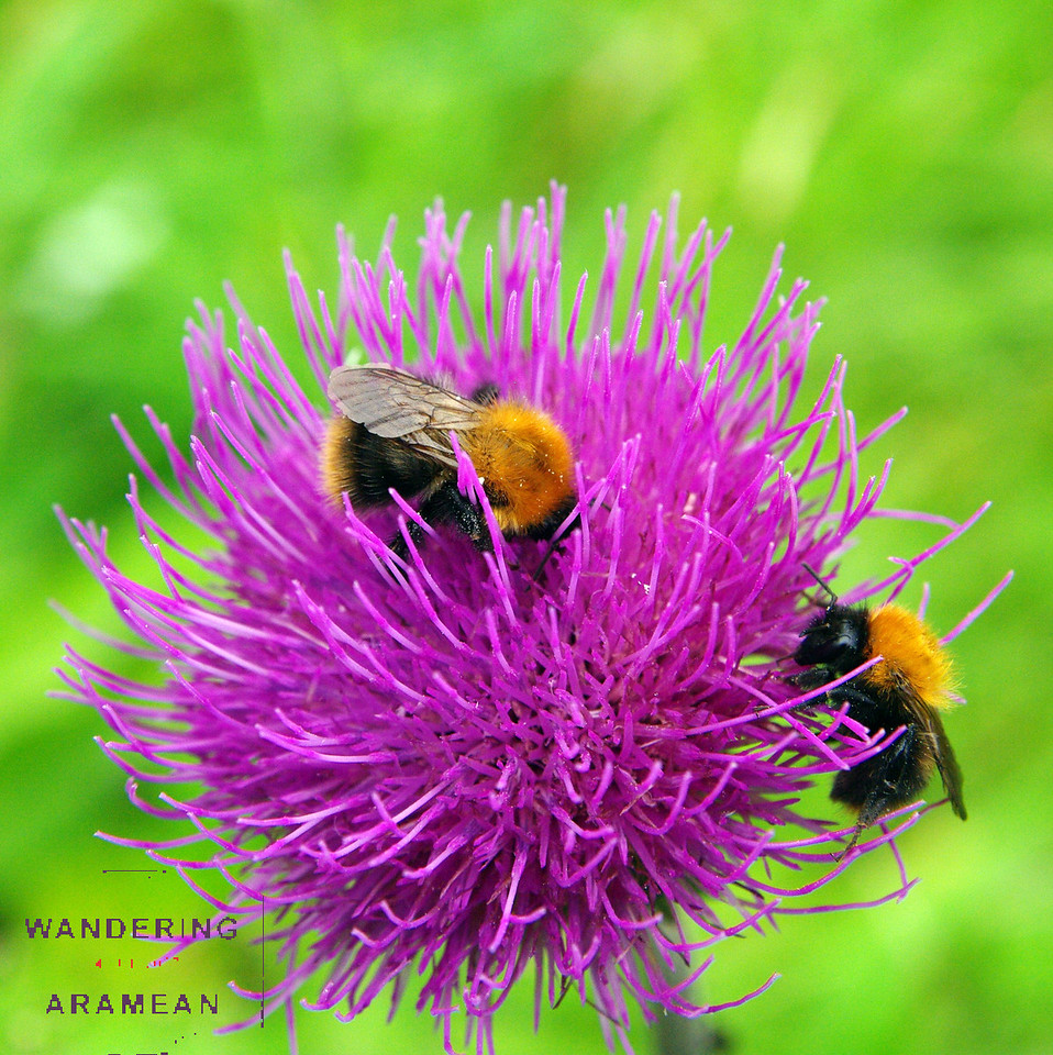 Two bees sharing