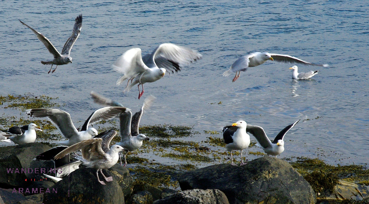 The gulls were not shy about fighting over the fish guts