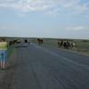 typical Kazakhstan road hazard