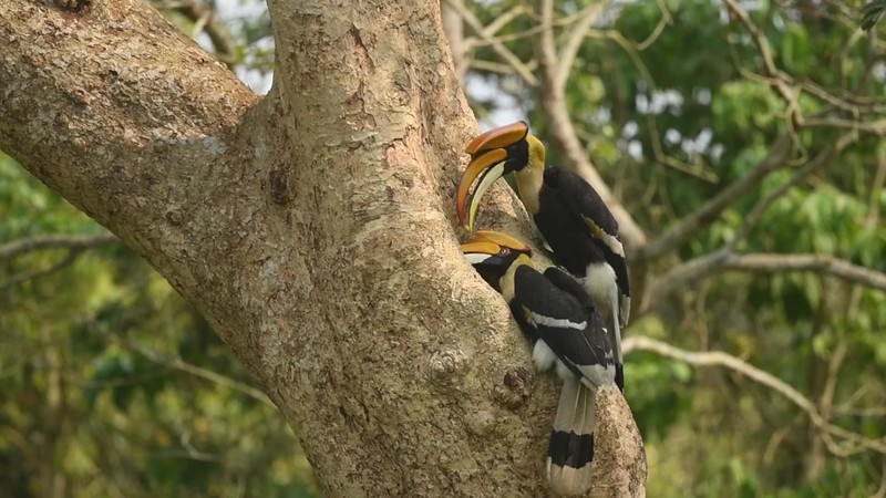 Great Indian Hornbills