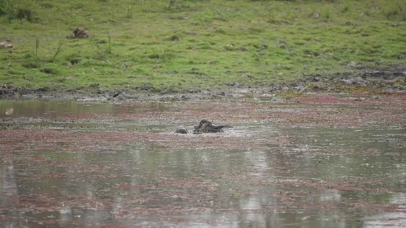 Otters - Kaziranga