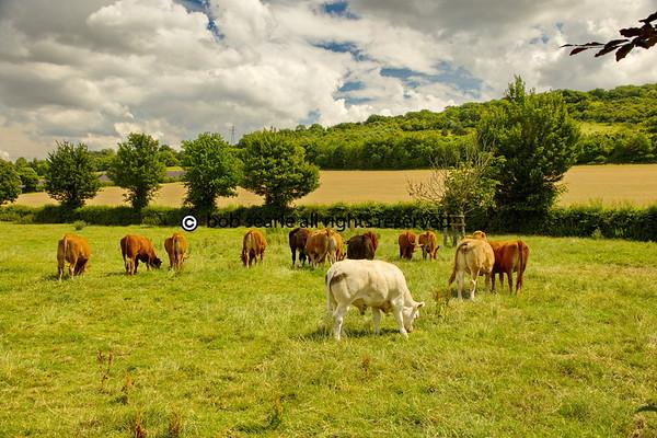Lavender Fields Kent UK 2017