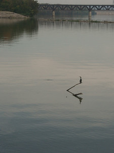 Crested Cormorant, on Ohio River, in Louisville.