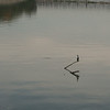 Crested Cormorant, on Ohio River, in Louisville.