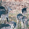White-tailed Deer - Land Between The Lakes National Recreation Area - Golden Pond, KY  11-29-98