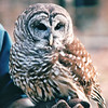 Barred Owl at Nature Station - Land Between The Lakes National Recreation Area - Golden Pond, KY  11-29-98
