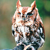 Screech Owl at Nature Station - Land Between The Lakes National Recreation Area - Golden Pond, KY  11-29-98