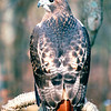 Red-tailed Hawk at Nature Station - Land Between The Lakes National Recreation Area - Golden Pond, KY  11-29-98