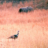 Wild Turkey - Land Between The Lakes National Recreation Area - Golden Pond, KY  11-29-98
