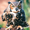 Great Horned Owl at Nature Station - Land Between The Lakes National Recreation Area - Golden Pond, KY  11-29-98