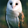 Barn Owl at Nature Station - Land Between The Lakes National Recreation Area - Golden Pond, KY  11-29-98