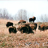 Bison - Land Between The Lakes National Recreation Area - Golden Pond, KY  11-29-98