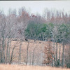 Bison Grazing - Land Between The Lakes National Recreation Area - Golden Pond, KY  11-29-98