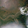Swimming Bullfrog - Mammoth Cave National Park, Kentucky - May 1995