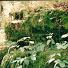 Rocks Heavily Covered with Moss - Mammoth Cave National Park, Kentucky - May 1995