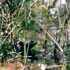 Another Bullfrog - Mammoth Cave National Park, Kentucky - May 1995